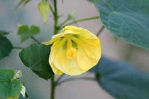 Abutilon is still in bloom