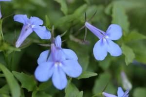 I like this very blue Lobelia
