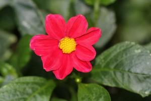Dahlias are flowering