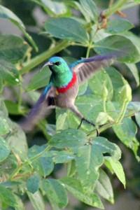 The gorgeous Sunbird