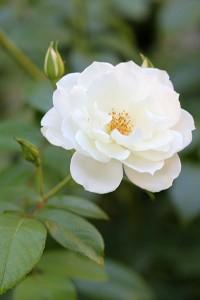 Iceberg Roses were lovely