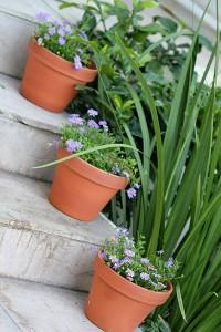 Brachycombe Daisy in pots