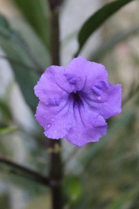 The lovely Mexican Petunia