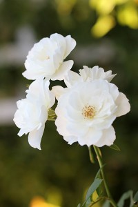Love my Iceberg Roses