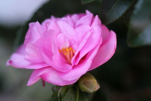 The Camellias are starting their display