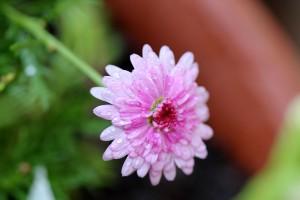 A sweet pink daisy
