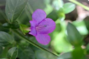 Barleria obtusa - Bush Violet
