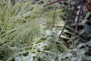 Carex, Helichrysum petiolare & Rubrum