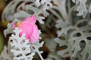Pink Camellia bloom dropped into Dusty Miller