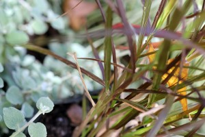 Helichrysum petiolare with Pennisetum rubrum
