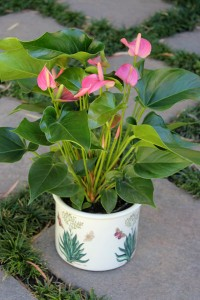 I've potted it into a Portmeirion pot
