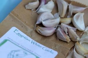 White Egyptian garlic