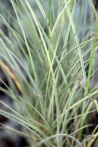 Tall willowy leaves