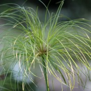A lovely Cyperus paptrus