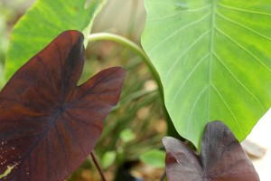 "Alocasia ""Black Magic"" and Colocasia esculentes"