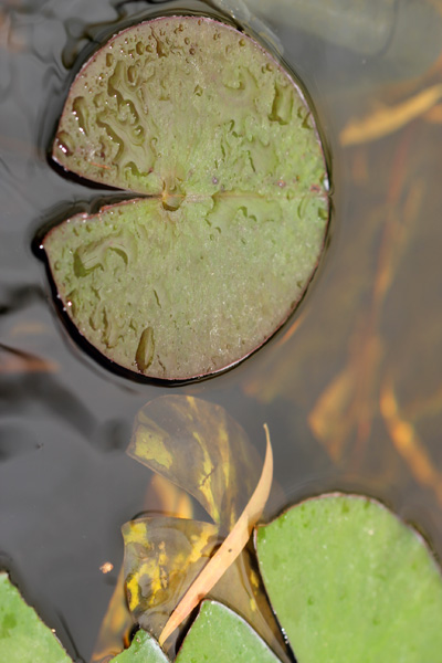 A few new plants for the pond by the gardening blog for Large pond plants