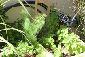 Coriander, basil, fennel and parsley