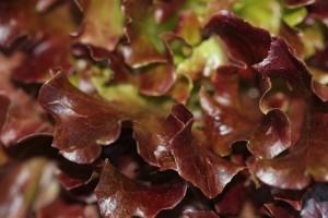 The reddish coloured lettuce