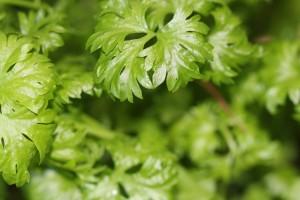 Flat leaf Italian parsley
