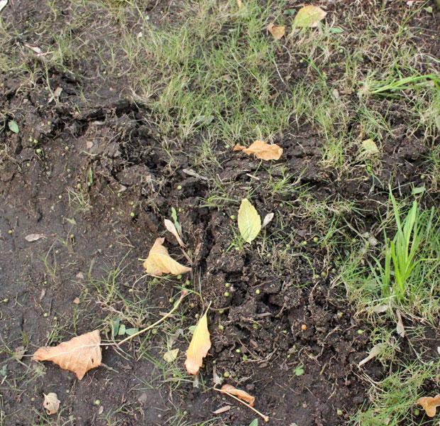 Mole damage, Again!