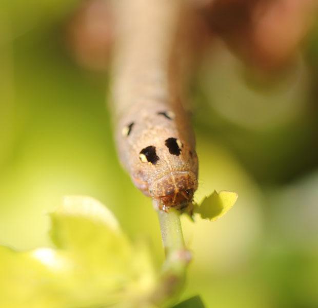 """Caterpillar """"face"""""""
