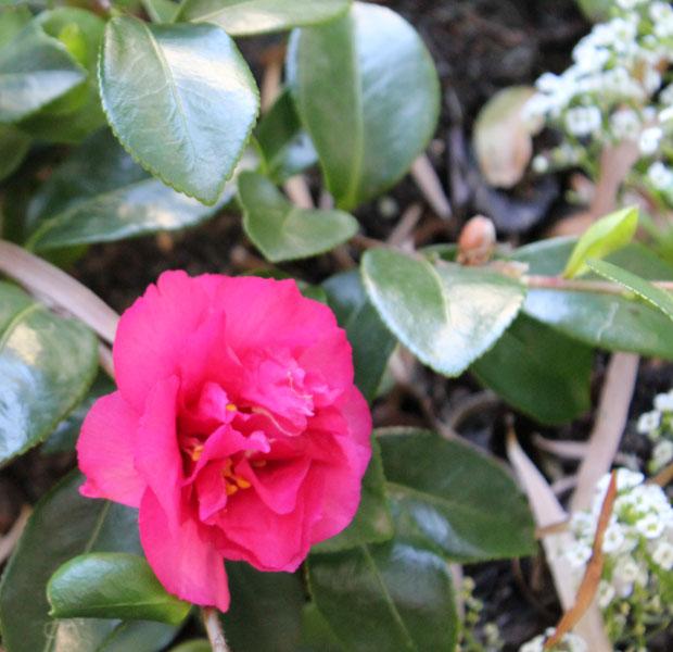 Beautiful Camellia