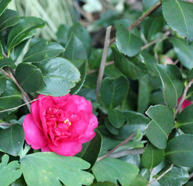 The cerise Camellia