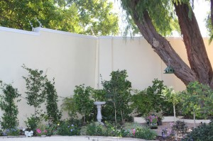 Camellia bed in June 2011