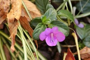 There's one! Barleria obtusa