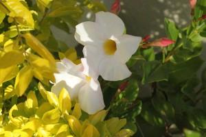 Mandevilla splenens flower all year
