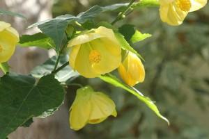 Abutilon has flowered for months