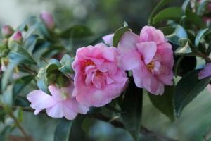 Camellias are flowering en-masse