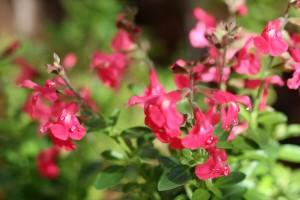 Salvia greggii 'pink'