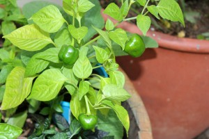 The bell peppers are growing