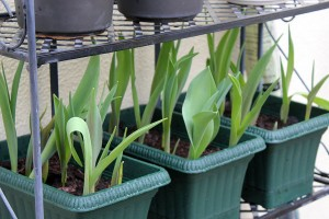 The Tulips are doing well in moveable pots