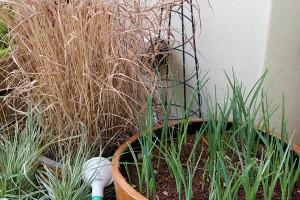I'm growing Dutch Irises for picking