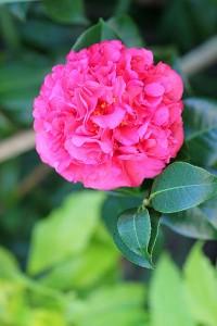 Camellia shrub