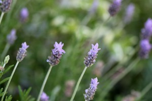 Lavender blooms going strong
