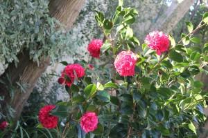 The splendiferous Camellias!
