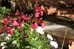 Salvia and daisies in a sunny spot