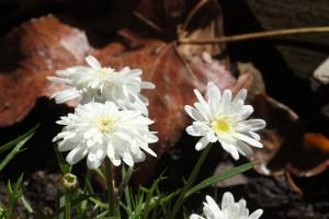 Winter prettiness ... little white daisies