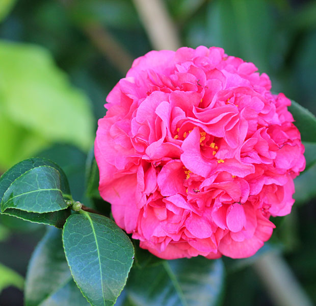 The stunning red Camellia, size of a side plate