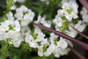 A new addition; Nemesia Nesia white