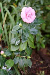 A pretty pink Camellia