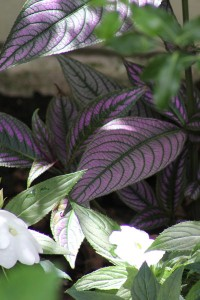 Strobilanthes and Impatiens