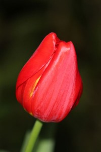 A perfect Tulip bloom