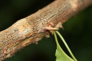 Revenge of the Bougainvillea - thorns