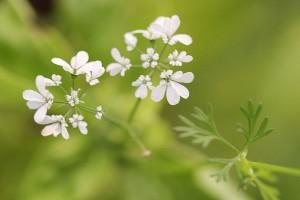 Coriander flowers