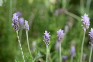 Lavender ... I always have plenty
