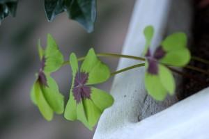 Four leaf clover - oxalis